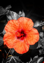 Ibiscus flower only in orange