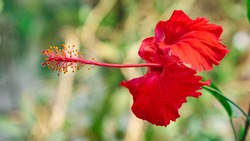 Ibiscus red and yellow flower