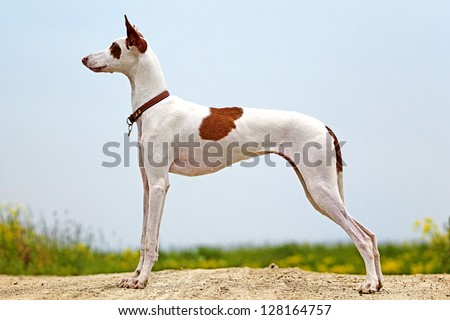 Ibizan Hound dog #128164757