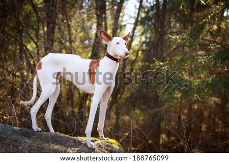 Ibizan Hound dog #188765099