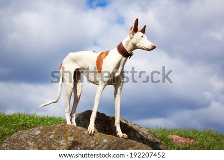 Ibizan Hound dog #192207452
