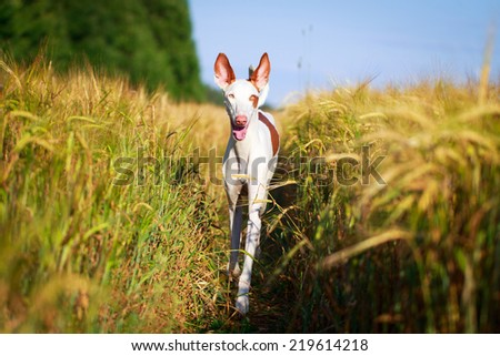 Ibizan Hound dog #219614218