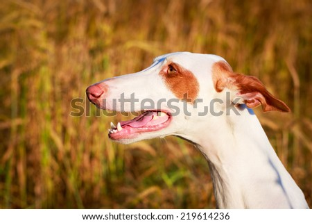 Ibizan Hound dog #219614236