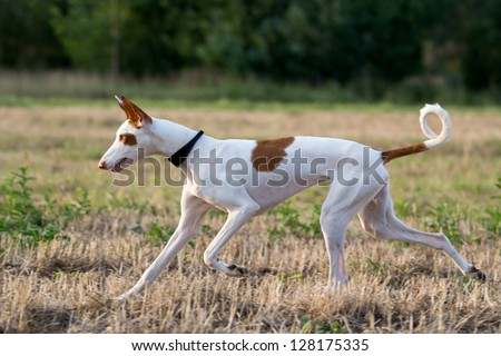 Ibizan Hound dog run in field #128175335