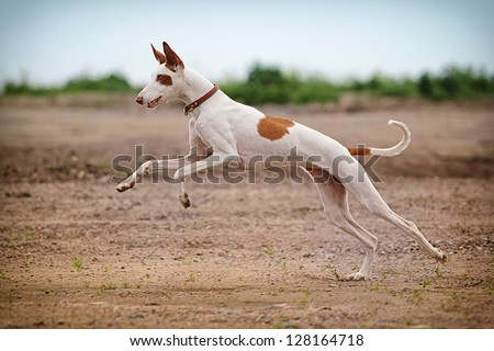 Ibizan Hound dog stand on a road in field #128164718