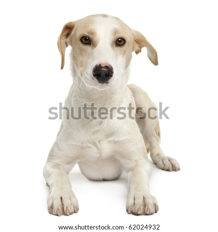 Ibizan hound, 12 months old, lying in front of white background #62024932