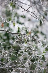 Ice dripping from a bare bush on a dreary, gray day