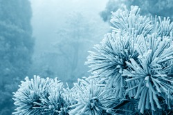 ice fog on the prickly branches of pine