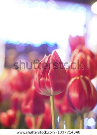 Ice tulips at Enoshima island in Japan ストックフォト ©