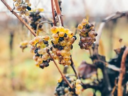 Ice wine. Wine green grapes for ice wine. Waiting for the first frost before harvesting the grapes for the sweetest dessert wine of the season. Burgenland, Austria.