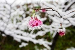 iced cherry blossom