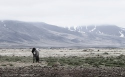 Iceland barren landscape with lonely icelandic horse and mountains in background