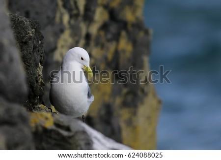 Iceland Gull in nest, Larus glaucoides