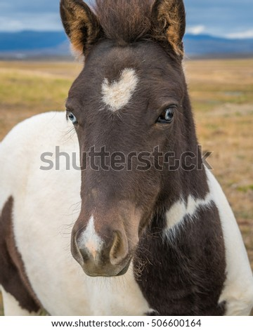 Iceland horse coming to me #506600164