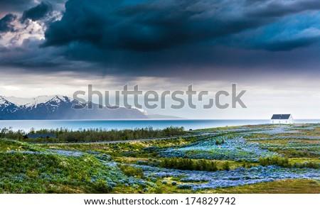 Iceland: lupins meadow over atlantic coastline. Husavik, north Iceland.