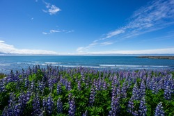 Iceland - Purple lupine flower field with ocean in background and blue sky