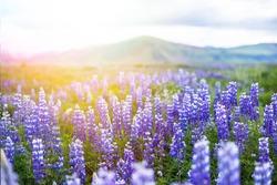 Icelandic Beautiful Landscape Lupine Bluebonnet field in South Iceland