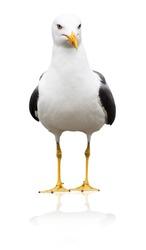 Icelandic gull, Larus glaucoides, isolated on white