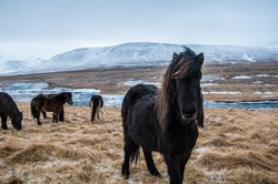 Icelandic herd of horses grazing on Icelandic meadow with mountains and frozen river in background