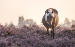 Icelandic horse as natural grazing in a nature protected area (Posbank, Veluwezoom, The Netherlands), walking towards the camera, In the purple flowers of the Common Heather.
