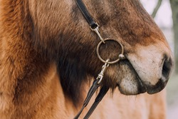 Icelandic horse bit details close up