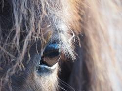 Icelandic Horse Close up Eye Portrait
