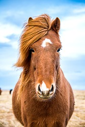Icelandic horse facing camera, with full mane blowing in the wind.