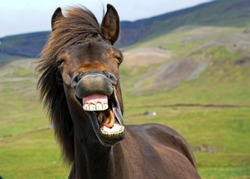 Icelandic horse gives a big smile!