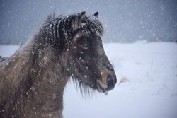 Icelandic horse in a snowstorm