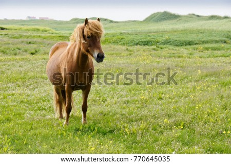 Icelandic horse in field, Iceland
