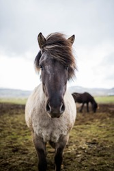 Icelandic horse is a symbol of Iceland. They are very friendly animals and curious if tourists. You can see them along Icelandic popular ringroad, where you can discover all the main attractions.