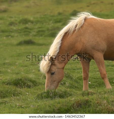 Icelandic Horse (palomino) (equus ferus caballus) #1463452367