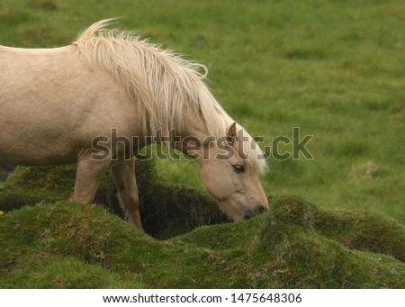 Icelandic Horse (palomino) (equus ferus caballus) #1475648306