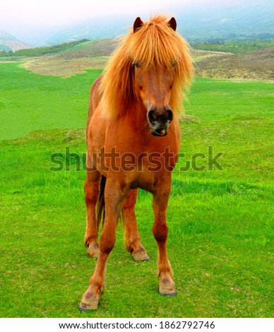 Icelandic Horse, reddish coat, Adorable sorrel horse mare with thick mane and long bangs grazing on green grass pasture in Iceland. Equus ferus caballus portrait. Famous five-gaited breed. Foto d'archivio ©
