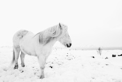 Icelandic Horse - White Out (B&W)