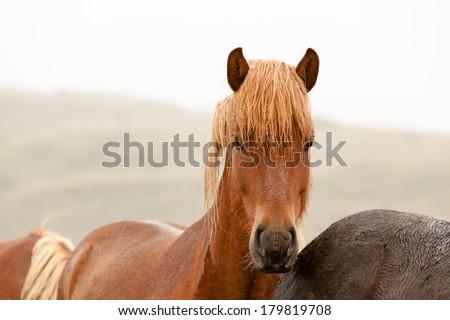 Icelandic horse with chestnut hair