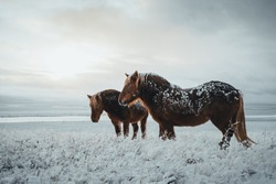 Icelandic horses are very unique creatures for the Iceland. These horses are more likely ponies but quite bigger and they are capable of surviving hard weather conditions that are usual for the north.
