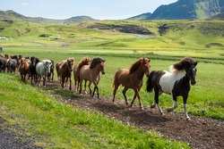Icelandic horses galloping down a road, rural landscape, Iceland