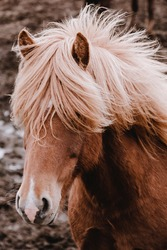 Icelandic horses graze in the field. Close-up. Beautiful red hair and long shaggy bang. Vertical shot. Livestock and pastoralism. Farm. A rare unique breed.