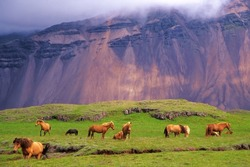 Icelandic horses in a peaceful meadow dominated by a volcanic rose-tinted mountain, Iceland