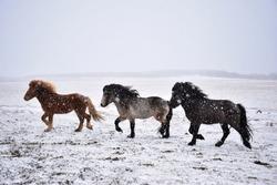Icelandic horses running through a snow storm