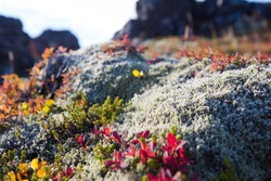 Icelandic moss on volcanic rocks with small autumnal colored leaves in bright sunshine