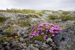 Icelandic pink flowers in Skaftafell natural park