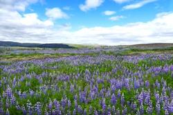 Icelandic purple lupine field in summer Iceland