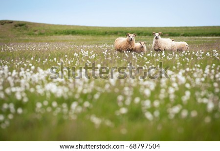 Icelandic sheep grazing on a green pasture in Iceland