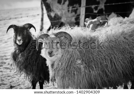 icelandic sheep in black and white