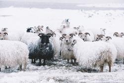 Icelandic sheep roaming in the winter snowy field,beyond their season. Black sheep contrasting among white sheep