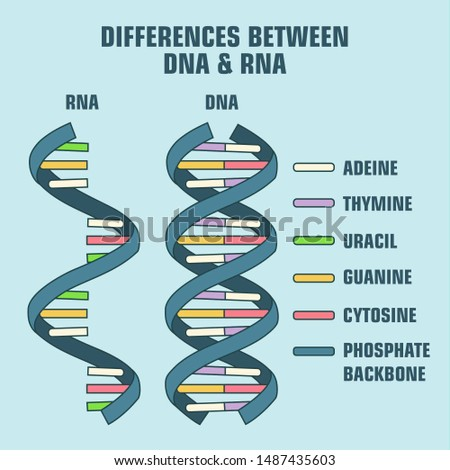 Icon of the structure of the DNA  and RNA molecule. Spiral Deoxyribonucleic acid (DNA) and RNA with the description of components: cytosine, guanine, adenine, thymine, nitrogenous base of DNA & RNA.