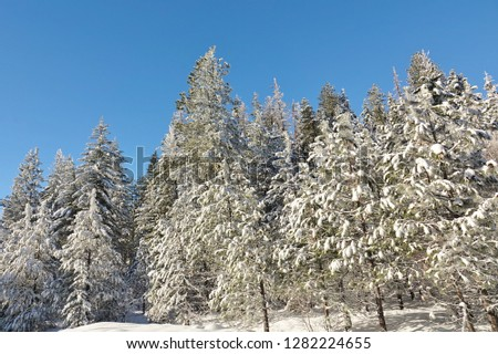 Iconic & beautiful winter scenery in Wenatchee National Forest in Cascade Mountains of Washington state. Large group of evergreen trees covered in freshly fallen snow under clear blue December sky. #1282224655