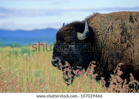 Iconic portrait of an American Bison on the prairie in Grand Teton National Park in Wyoming